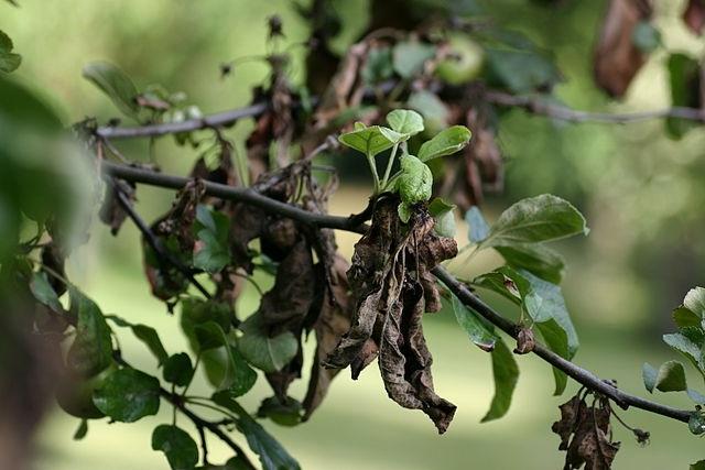 Бактериальный ожог на листьях яблони