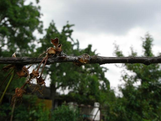 Монилиоз на ветке вишни